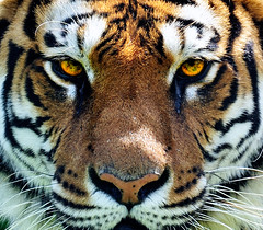 HypnoTiger (Explored!) (ricdiggle) Tags: england eyes nikon tiger explore futurama symetry d3 symetrical safaripark knowsley hypnotise hypnotoad worldsbestnikonshots flickrbigcats wouldlooksoaceonthebackofashinybomberjacketnot