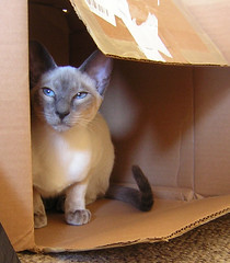 The Temple of Bast (Butterfly Psyche) Tags: pet cat box bast blueeyes kitty siamese cardboard bluepoint bastet catsinboxes catinabox blueribbonwinner catinthebox abigfave thousandsofyearsagocatswereworshippedasgodscatshaveneverforgottenthis thetempleofbast