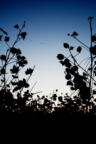 cottonfieldvert