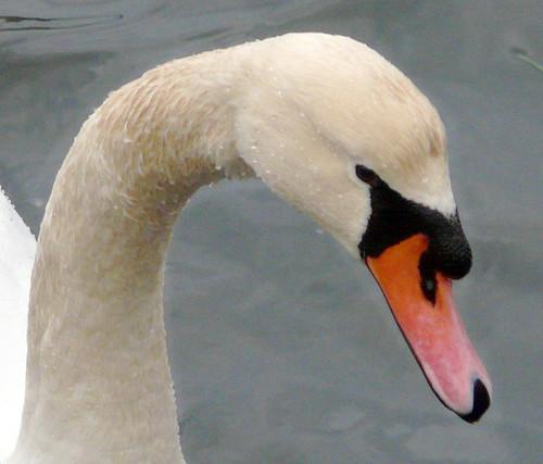 Swan 11Dec08