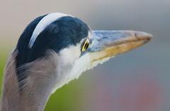 Great Blue Heron (Eliya) Tags: sanfrancisco fortpoint greatblueheron ftpoint ardeaherodias