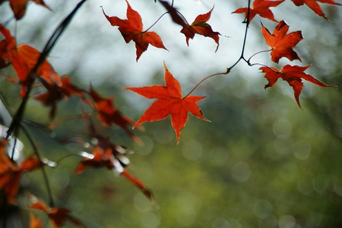 Maple leaves at Wuling Farm