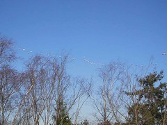 Lesser Snow Geese (uzhik) Tags: snowgeese georgecreifelmigratorybirdsanctuary lessersnowgeese