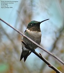 Ruby-throated Hummingbird (Archilocus colubris) adult male (Carolinensis) Tags: nature birds aves 1001nights birdwatcher rubythroatedhummingbird yardbird blueribbonwinner featheryfriday nikkor80400mmvr allrightsreserved feederbirds birdphotos archilocuscolubris nikond80 goldstaraward southcarolinabirds thewonderfulworldofbirds sysecondyearmale