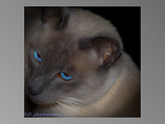 STOLEN :-( (D3 Photography) Tags: nikon blueeyes sigma siamese adobe 50mmf14 sealpoint d300 mybabyboy lightroom2