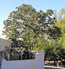 PUMPWOODS (Cecropia pachystachya) ambay ............ Original= (2645 x 2816) (turdusprosopis) Tags: azteca cecropia yagrumo cecropiasp cecropiaceae embaba pumpwood yarumo cecropias ambaibo guarumo floraargentina ambay plantasargentinas plantasdeargentina plantasautctonasargentinas plantasautctonasdelaargentina floraautctonaargentina floraautctonadeargentina plantasnativasargentinas plantasnativasdeargentina plantasnativasdelaargentina floradelaargentina floradeargentina plantasautctonasdeargentina floraautctonadelaargentina floranativabrasileira floradobrasil argentineindigenousplants embava cecropiapachystachya cecropiceas cecropiaadenopus pumpwoods embabas embabadamata palodelija aztecaalfaroi hormigasazteca hormigaazteca amba ambahu ambaiba palolija  brennnesselgewchse myrmekophylaxis ameisenbume