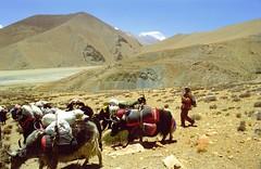 Dawa is wondering why I take pictures at all (reurinkjan) Tags: 2002 yak nikon tibet everest dri herdsman tingri jomolangma tibetanlandscape lammala janreurink phyugsrdzi norrdzi བོད། བོད་ལྗོངས།