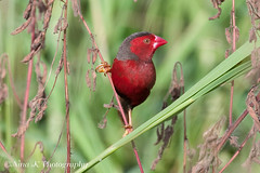 Crimson Finch (Nina K's Photos) Tags: birds darwin foggdam specanimal crimsonfinch ninakphotography