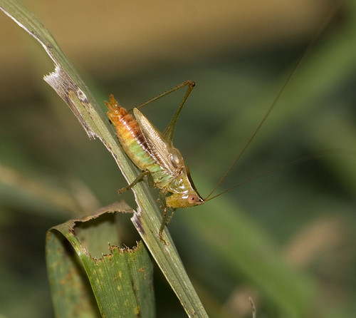 meadow katydid