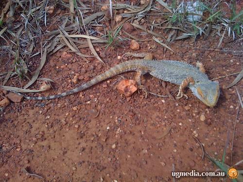 Roadkilled eastern bearded dragon (Pogona barbata)