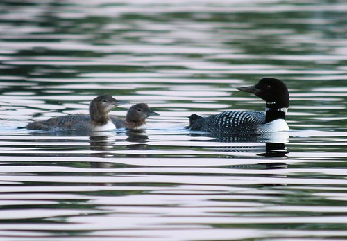 common loon facts. common loon facts.