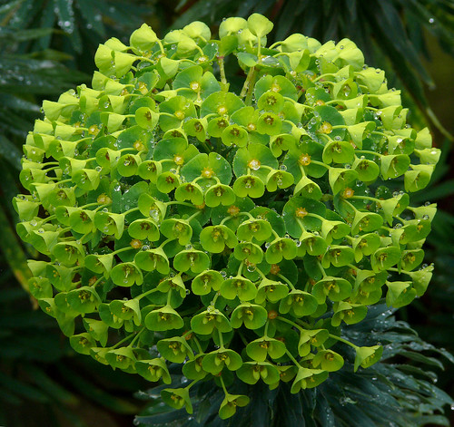 Euphorbia characias wulfenii - photo courtesy Flickr user jim-sf
