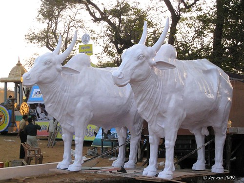 white bulls