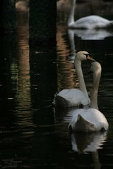 (Alexandra) Tags: white k swans l