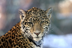 Chessie (*Michelle*(meechelle)) Tags: friends ma jaguar chessie stoneham throughtheglass stonezoo naturesfinest specanimal anawesomeshot impressedbeauty platinumheartaward theperfectphotographer goldstaraward natureselegantshots rubyphotographer vosplusbellesphotos naturescreations dragondaggerphoto dragondaggeraward saariysqualitypictures b05312008