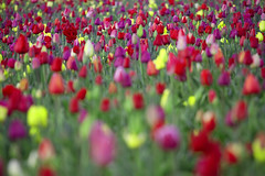 Sailing on a Sea of Tulips (Ar'alani) Tags: nature oregon sunrise landscape happy dof tulips woodburn woodenshoetulipfestival canon70200l