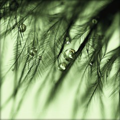 OoOoOoOoO (Samantha Nicol Art Photography) Tags: detail macro green art water reflections square dof bokeh feather droplet samantha toned nicol