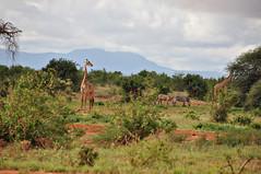 (Giulia La Torre) Tags: africa nature animals kenya safari lions monkeys giraffe elephants tsavo savana