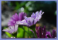 Shades of Purple (Miss a Liss) Tags: flowers sunlight flower water beauty garden drops nikon colorful sunny creativecommons waterdrops picnik