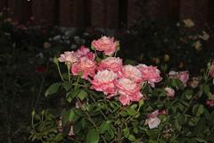 گل, The Flower (Always Flying) Tags: flower green leaves rose night شب سبز گلرز برگ