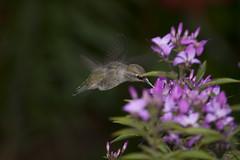 Cleome Dancer (eyepiphany) Tags: bird gardens hummingbird annashummingbird cleome calypteanna hostplants birdsofthepacificnorthwest cleomehybrid