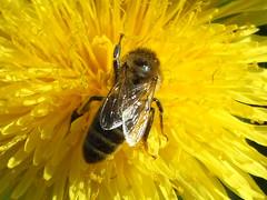 Taraxacum officinale, Apis DSCF3500_edited (aorg1961 stalked by Suipixel) Tags: polska polen biene apis bechatw taraxacum lwenzahn taraxacumofficinale mlecz pszczoa mniszek mniszeklekarski mniszekpospolity
