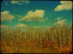prairie gothic (anniedaisybaby) Tags: autumn sky colour texture clouds wow landscape bush grunge ameliepoulain aspen poplars quakingaspen theworldthroughmyeyes tremblingaspen prariesky avision |ash| skypoetry theothervillage borealnz colourartawards anniedaisybaby prairiegothicthanksken