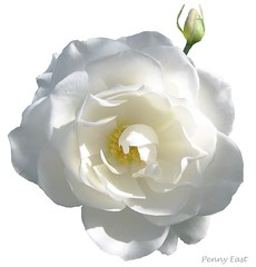 iceberg (pennyeast) Tags: friends white plant flower macro nature rose photoshop garden southafrica botanical background rosa capetown iceberg plantae onwhite defenders extraction excellence westerncape rosaceae lifeasiseeit papaalphaecho