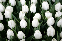 The whites (ZoomLoes) Tags: flowers white spring tulips bulbs february 2008 ©zoomloes