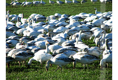 0223 Snow Geese (beckypea) Tags: birds snowgeese