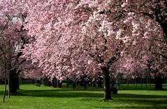 zierk_1_150308 (siggi2234) Tags: schwetzingen blüten moschee zierkirschen
