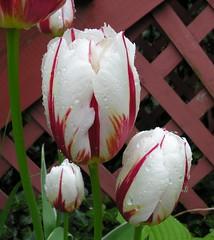 Tulipa 'Happy Generation' (Todd Boland) Tags: flowers tulip bulbs tulipa liliaceae springblooming