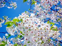 (Asa-moya) Tags: onblue  naturesfinest chibaprefecture   compactdigitalcamera kyonanmachi aplusphoto bosopeninsula flowerpicturesnolimits cherryblossoms   mikesakura