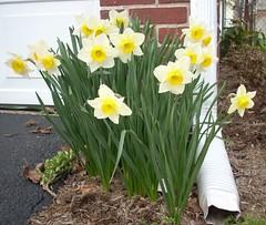 Daffodil 12