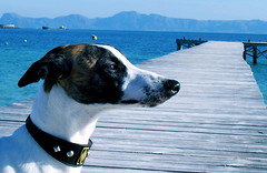 You will never walk alone (Dada Mar) Tags: blue sea dog beach pier muelle mar d profile whippet explore dada zero sighthound galgo chrt thelittledoglaughed platinumphoto pointyfaceddog