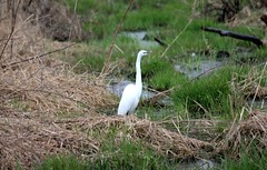 Great Egret (gengberg49) Tags: birds wisconsin spring many when turkeys through waterfowl greategrets migrate andducks