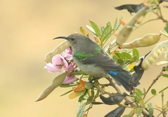IMG_2818_1 (Peet van Schalkwyk) Tags: africa wild bird nature birds southafrica photo december image photos wildlife images sunbird bettiesbaai cinnyrischalybeus kleinrooibandsuikerbekkie southerndubblecollaredsunbird