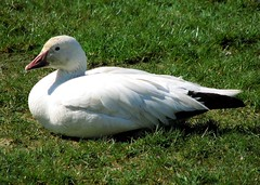 This one liked having its picture taken (westietess) Tags: birds waterfowl snowgeese chencaerulescens