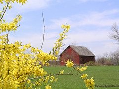 Barn & Forsythia, Redding, Connecticut (Jeff Wignall) Tags: yellow barn rural landscape connecticut depthoffield forsythia wignall reddingconnecticut lensaperture
