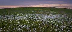 (baldwinm16) Tags: sunset nature daisies illinois daisy wildflowers prairie naperville springbrook springbrookprairie crookedslough illinoisforestpreserve springbrookprairieforestpreserve