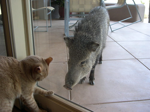 Cat vs. javelina