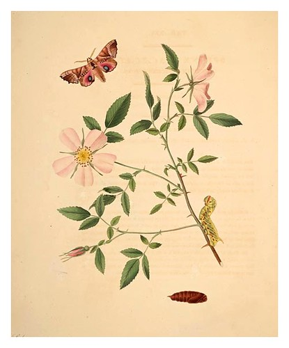 09-Illustration of Sphinx Excæcata. Rosa Carolina 25