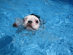 Doggie paddle! (WelcomeToTheDoghouse) Tags: dog lake cute pool boston puppy pond thea paddle adorable terrier una doggie swin welcometothedoghouse onephotoweeklycontest