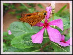 Cephrenes trichopepla (Yellow Palm Dart) on Catharanthus roseus, in our garden