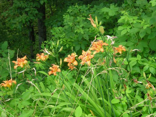 wild tiger lillies, the flower, the unopened bud and the tubers on the roots are all edible