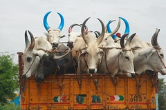 horn OK (JoeCroos) Tags: india animals cattle explore horn bovine tamilnadu trichy