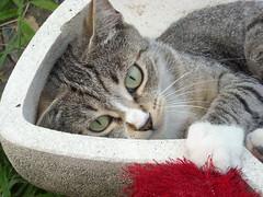 ...ma no, sono bravissima, è il musino furbetto che mi frega! (Nina☆) Tags: cat gatto kissablekat anawesomeshot catnipaddicts