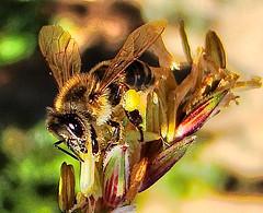 Abelha-européia (Apis mellifera)