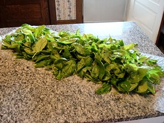 Drying the Basil