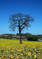 Os girassis (Jorge L. Gazzano) Tags: explore sunflower girassol nikond80 ascoresdobrasil